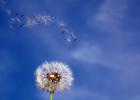 807614407-alergia-dmuchawiec.jpg